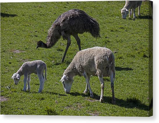 Emu Canvas Print - Emu And Sheep by Garry Gay