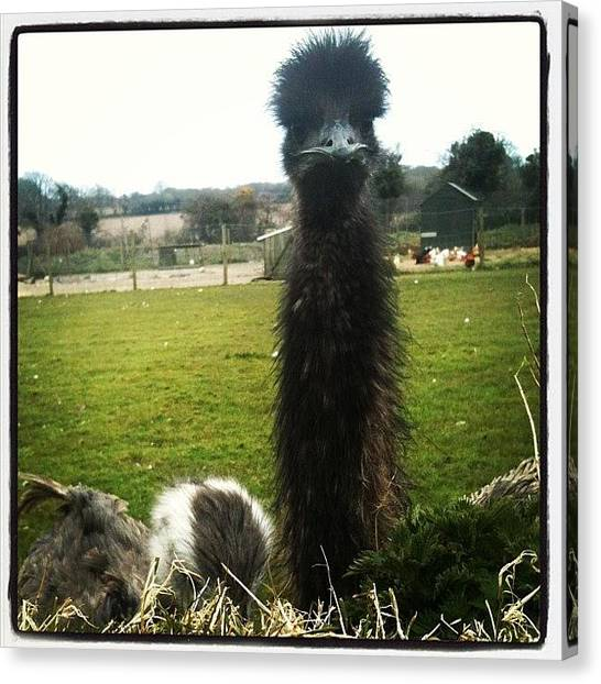 Ostriches Canvas Print - #emu #ostrich At The Small Holding Down by Little Tink