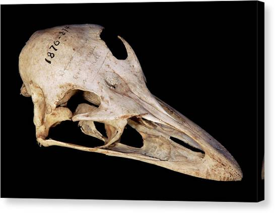 Emus Canvas Print - Emu Skull by Pascal Goetgheluck/science Photo Library