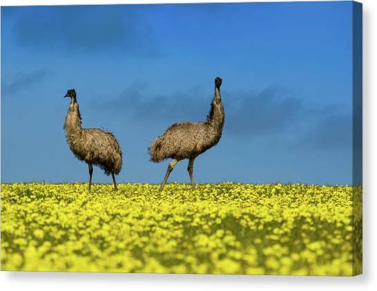 Emus Canvas Print - Emus In A Canola Field by Torsten Velden
