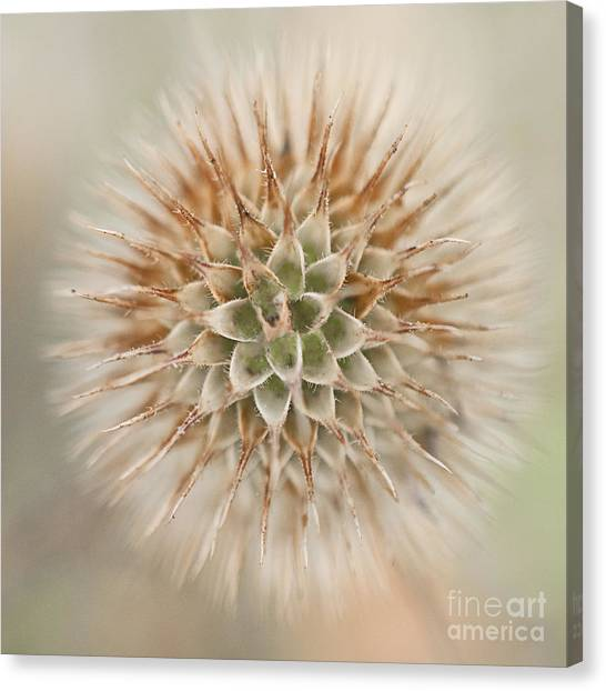 Enchanted Thistle Canvas Print