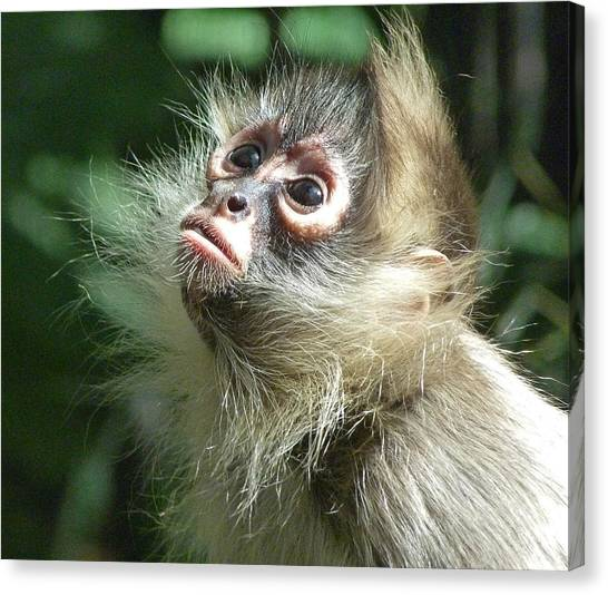 Enchanting Young Spider Monkey Canvas Print