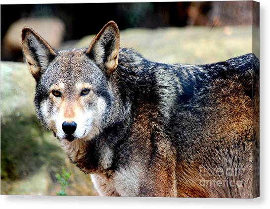Endangered Red Wolf Canvas Print