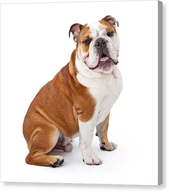 English Bulldog Sitting  Canvas Print by Susan Schmitz