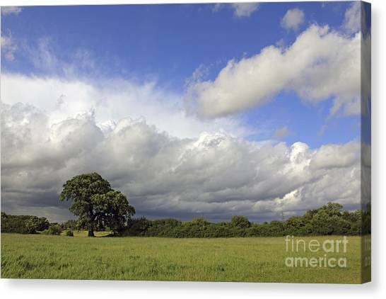English Oak Under Stormy Skies Canvas Print