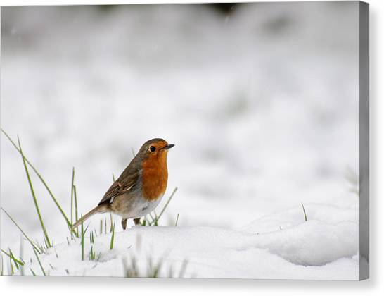 English Robin Canvas Print by Ivelin Donchev