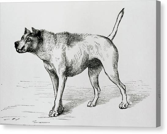 Engraving Of An Aggressive Dog Canvas Print by Science Photo Library