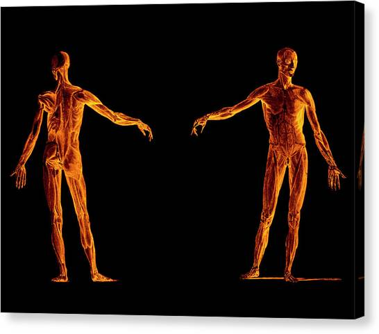 Engraving Of Human Skeletal Muscles Canvas Print by Sheila Terry/science Photo Library