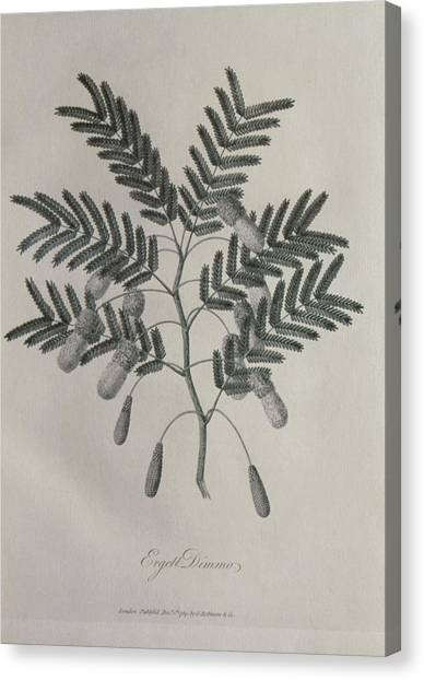 Mimosa Canvas Print - Engraving Of Leaves And Flowers Of Mimosa by George Bernard/science Photo Library