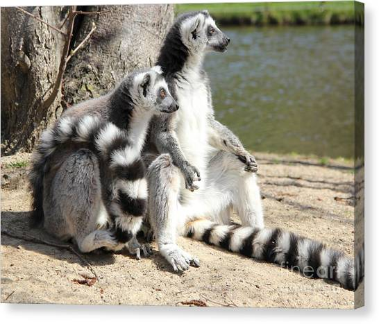 Ring Tailed Lemurs Canvas Print - Enjoying The First Sun by Jackie Mestrom