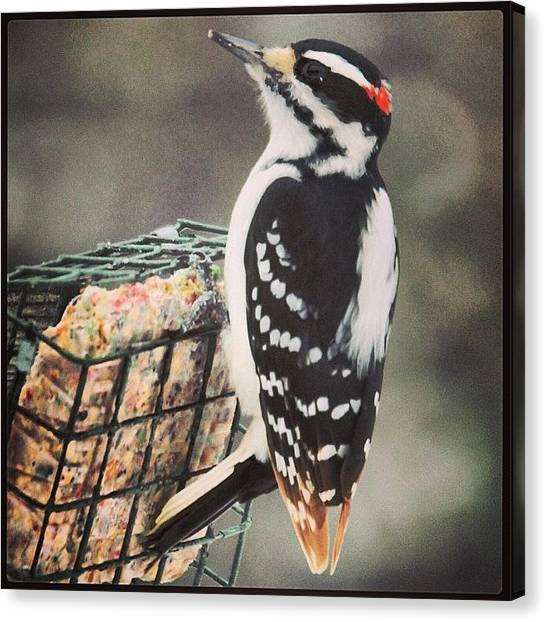 Woodpeckers Canvas Print - Enjoying The Holiday Suet by Heidi Hermes