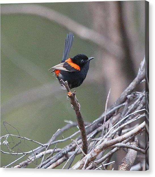 Wrens Canvas Print - Red Backed Fairywren by Paul Rushworth