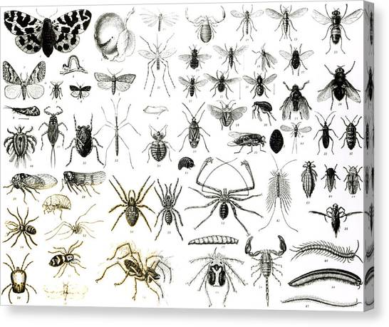 Millipedes Canvas Print - Entomology Myriapoda And Arachnida  by English School