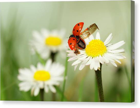 Ladybugs Canvas Print - Envole Moi by Fabien Bravin