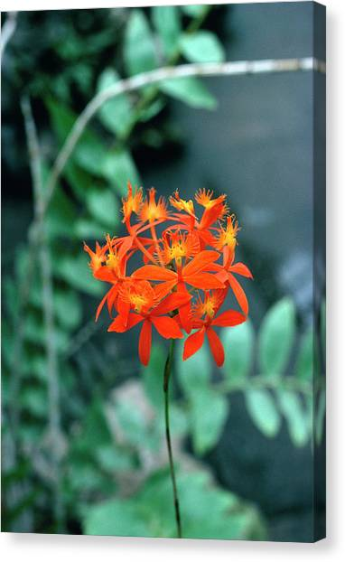 Epidendrum Ibaguense. Canvas Print by Science Photo Library