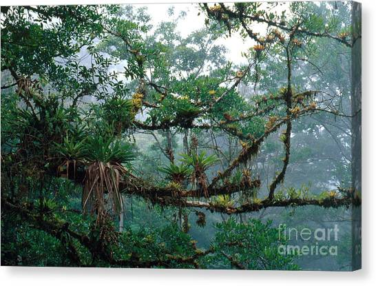 Monteverde Canvas Print - Epiphytes by Gregory G. Dimijian, M.D.