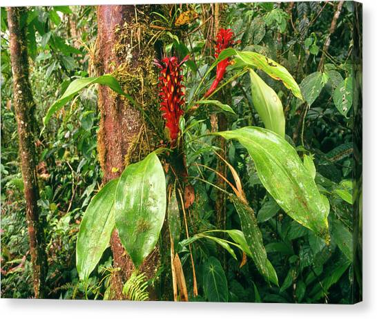 Bromeliad Canvas Print - Epiphytic Bromeliad Plants by Dr Morley Read/science Photo Library
