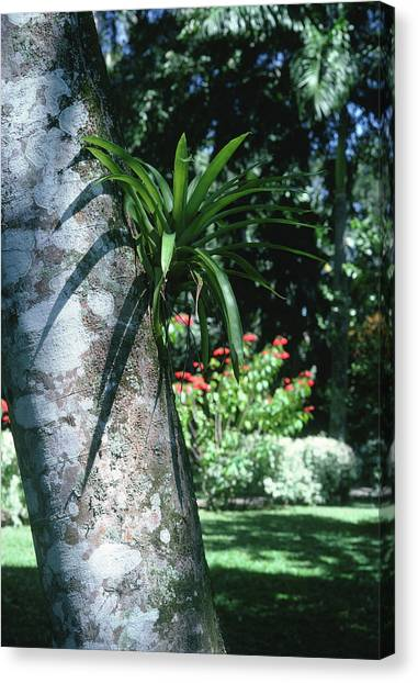 Bromeliad Canvas Print - Epiphytic Bromeliad by Science Photo Library