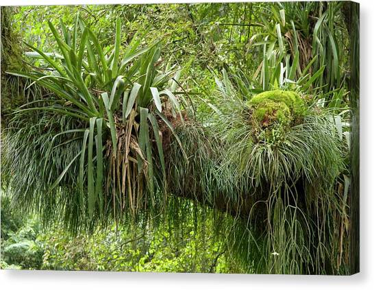 Bromeliad Canvas Print - Epiphytic Bromeliads by Philippe Psaila/science Photo Library