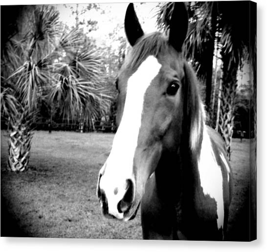 Equine Beauty Canvas Print by Chasity Johnson