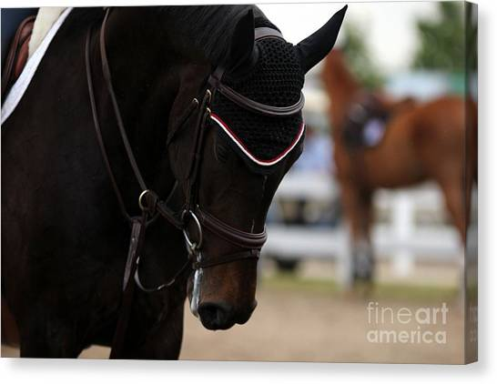 Equine Concentration Canvas Print