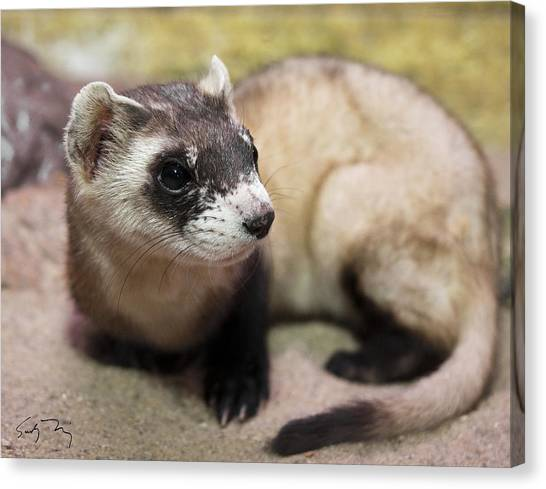 Black-footed Ferret Canvas Print - Equinox by Sandy Nervig