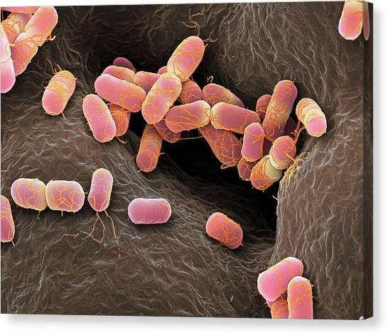 Escherichia Coli Bacteria Canvas Print by Martin Oeggerli/science Photo Library