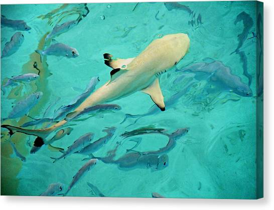 White Tip Sharks Canvas Print - Escort  by Jenny Rainbow