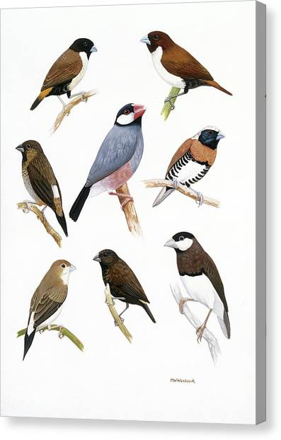 Woodcock Canvas Print - Estrildid Finches by Natural History Museum, London/science Photo Library