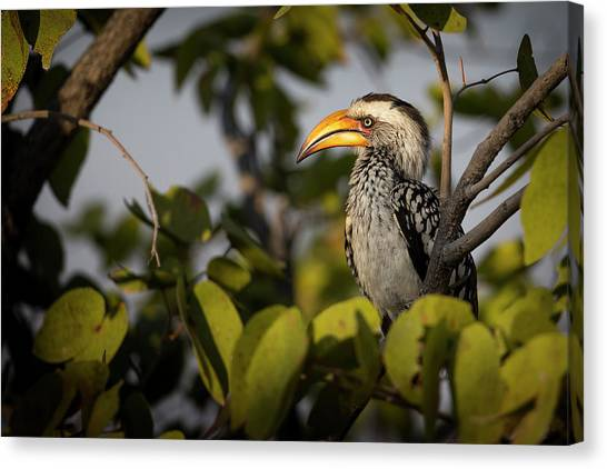 Hornbill Canvas Print - Etosha National Park, Namibia, Africa by Janet Muir