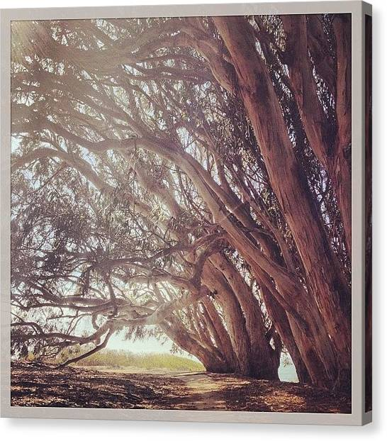 Grove Canvas Print - #eucalyptus #grove #monarchgrove by Kenneth Van Doren