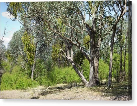 Mistletoe Canvas Print - Eucalyptus Tree Infested With Mistletoe by Dr Jeremy Burgess/science Photo Library
