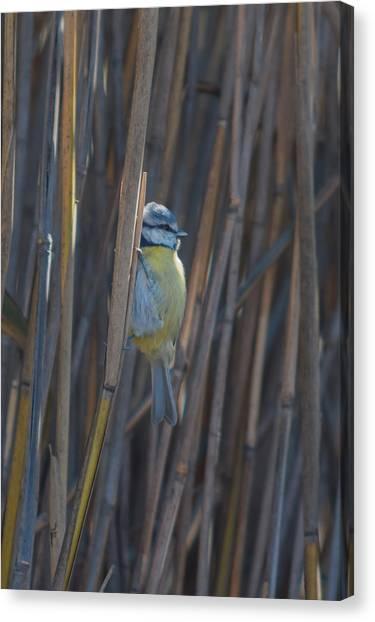 Eurasian Blue Tit - Parus Caeruleus Canvas Print