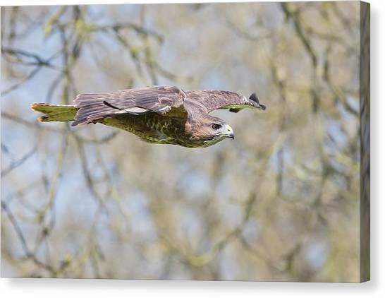 Buzzards Canvas Print - Eurasian Buzzard In Flight by Linda Wright