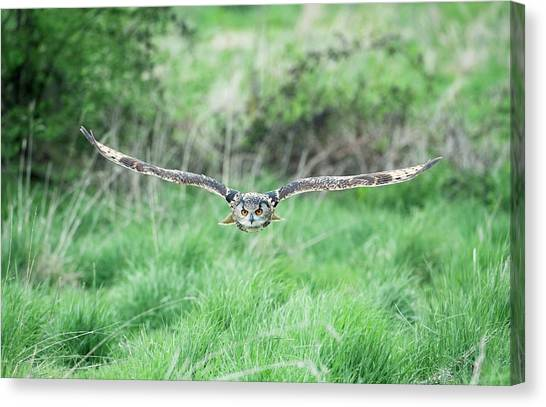Eagle In Flight Canvas Print - Eurasian Eagle-owl by Dr P. Marazzi/science Photo Library