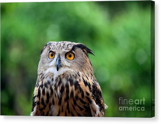 Eurasian Or European Eagle Owl Bubo Bubo Stares Intently Canvas Print
