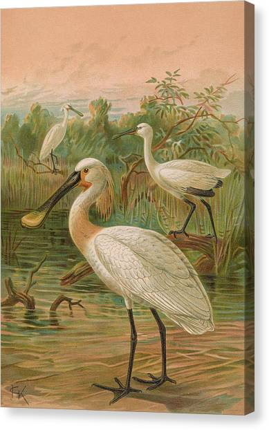 Spoonbills Canvas Print - Eurasian Spoonbill by Dreyer Wildlife Print Collections