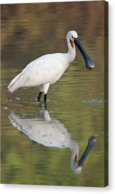 Spoonbills Canvas Print - Eurasian Spoonbill Platalea Leucorodia by Panoramic Images