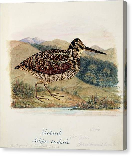 Woodcock Canvas Print - Eurasian Woodcock by Natural History Museum, London/science Photo Library