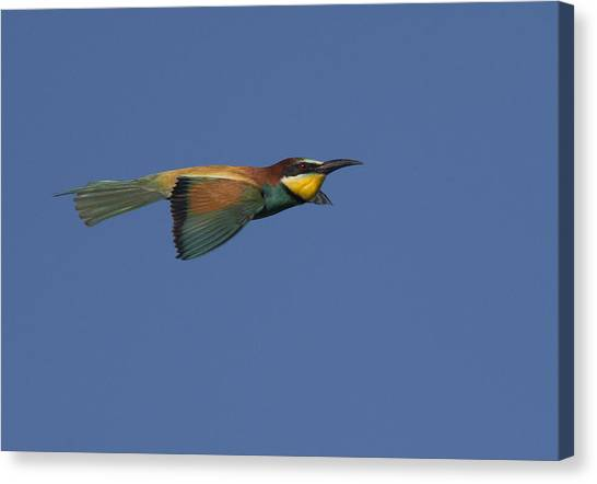 European Bee-eater Canvas Print