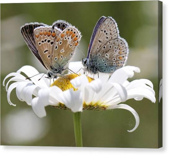European Common Blue Butterflies Canvas Print