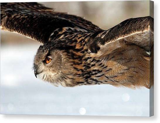 Eagle In Flight Canvas Print - European Eagle Owl In Flight by Annie Haycock/science Photo Library