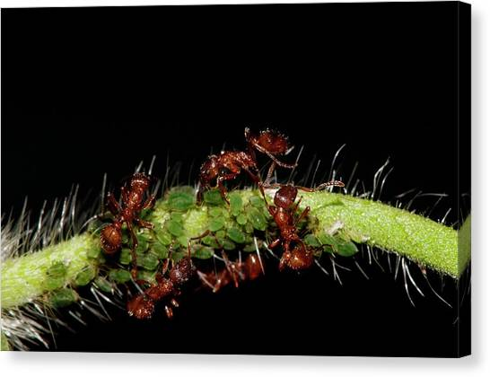 Honeydews Canvas Print - European Fire Ants Tending Aphids by Dr. John Brackenbury/science Photo Library