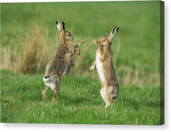 March Hare Canvas Print - European Hares In March by Dr P. Marazzi