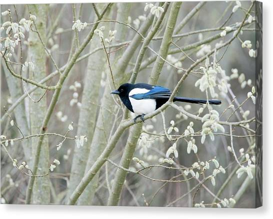 Magpies Canvas Print - European Magpie by John Devries/science Photo Library