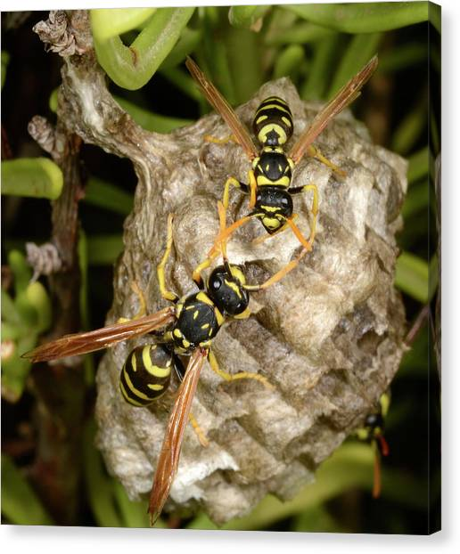 Pollinator Canvas Print - European Paper Wasps And Nest by Nigel Downer