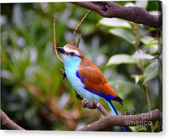European Roller Canvas Print