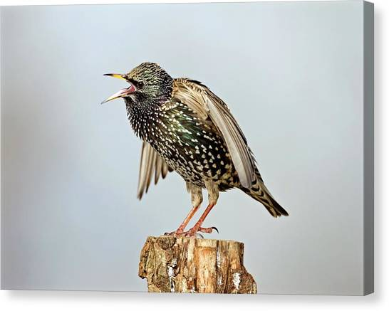 Starlings Canvas Print - European Starling Displaying by John Devries/science Photo Library