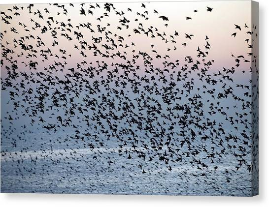 Starlings Canvas Print - European Starling Flock by Dr P. Marazzi/science Photo Library