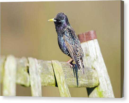Starlings Canvas Print - European Starling by John Devries/science Photo Library